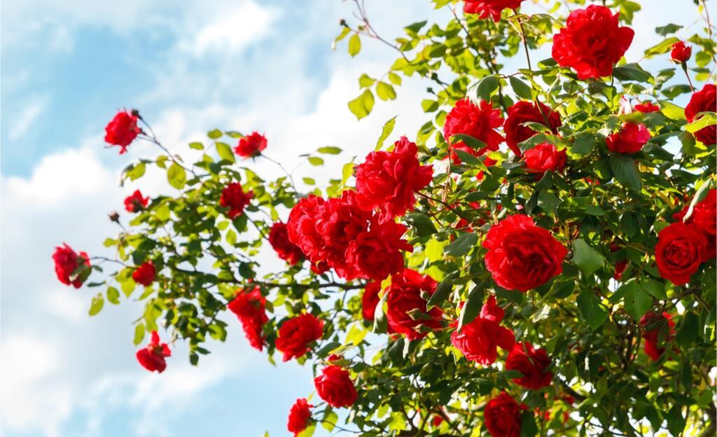 shutterstock_365677802 _růže
