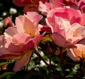 Růže mnohokvětá Tantau 'Jazz' - Rosa MK 'Jazz'