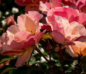 Růže mnohokvětá 'Jazz' - Rosa MK 'Jazz'