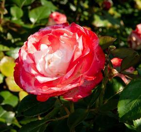 Růže velkokvětá Tantau 'Nostalgie' - Rosa VK 'Nostalgie'