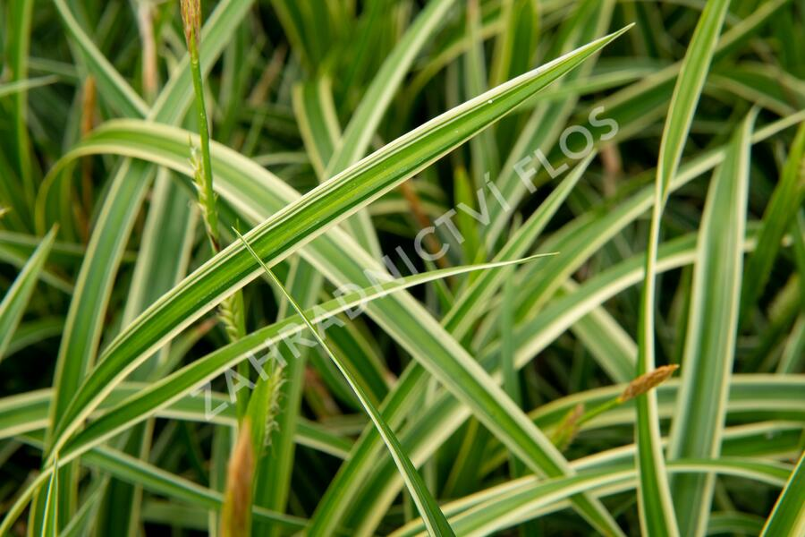 Ostřice japonská 'Ice Dance' - Carex morrowii 'Ice Dance'