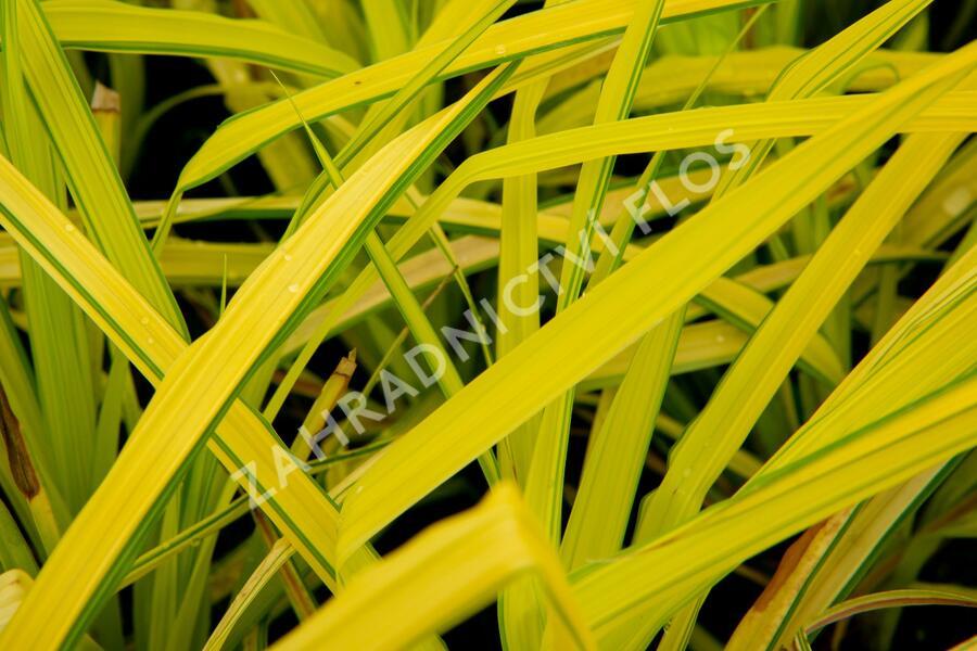 Ostřice vyvýšená 'Bowles Golden' - Carex elata 'Bowles Golden'