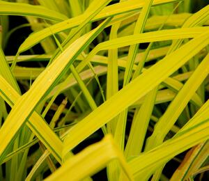 Ostřice vyvýšená 'Bowles Golden' - Carex elata 'Bowles Golden'
