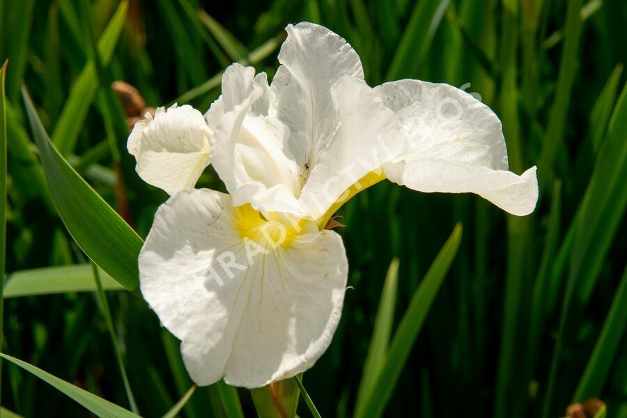 Kosatec sibiřský 'Dreaming Orange' - Iris sibirica 'Dreaming Orange'