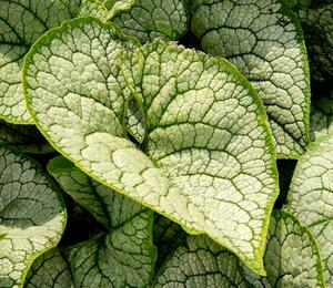 Brunnera macrophylla 'Sea Heart' - Brunnera macrophylla 'Sea Heart'