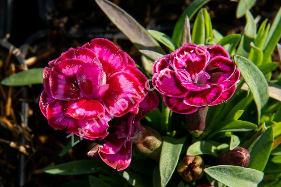 Hvozdík 'Purple Wedding' - Dianthus 'Purple Wedding'
