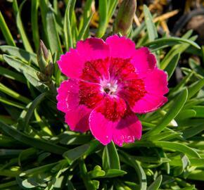 Hvozdík 'Pillow Purple' - Dianthus 'Pillow Purple'
