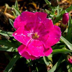 Dianthus 'Pillow Magenta' - Dianthus 'Pillow Magenta'