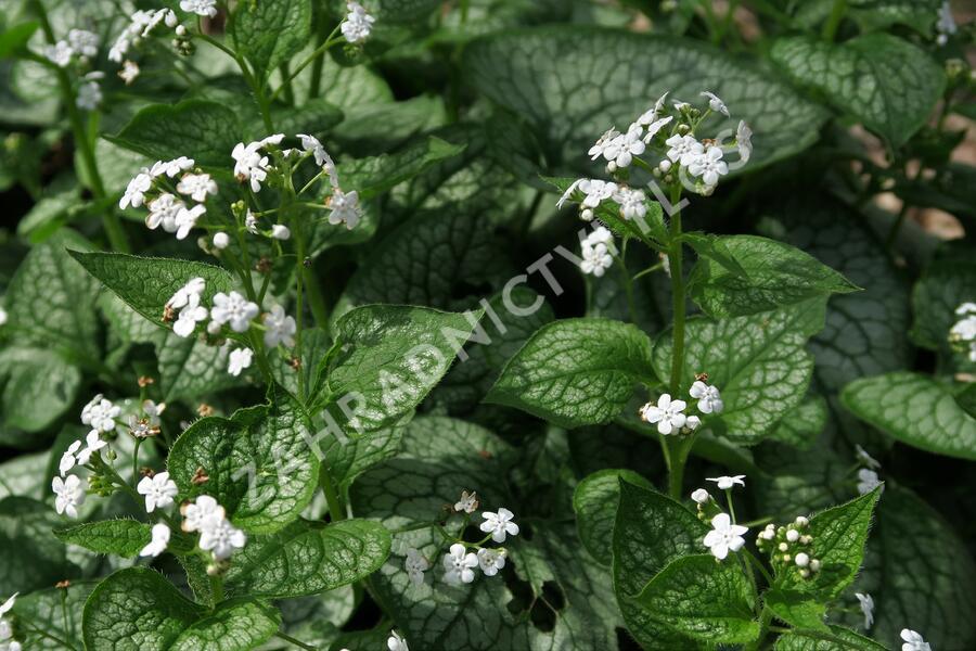 Pomněnkovec velkolistý 'Mr. Morse' - Brunnera macrophylla 'Mr. Morse'