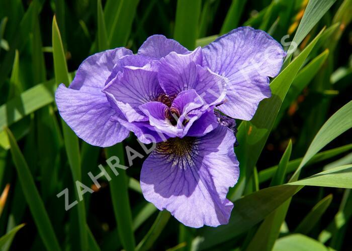 Kosatec sibiřský 'Rambunctious' - Iris sibirica 'Rambunctious'