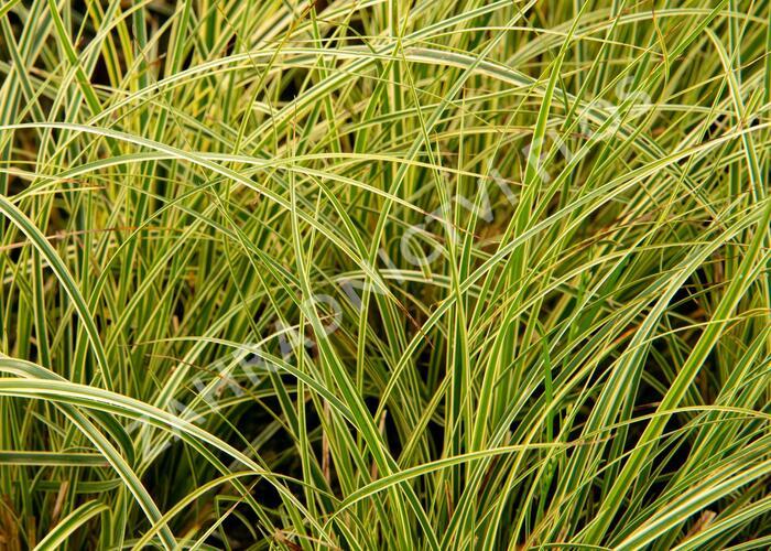 Ostřice 'Crema' - Carex brunnea 'Crema'