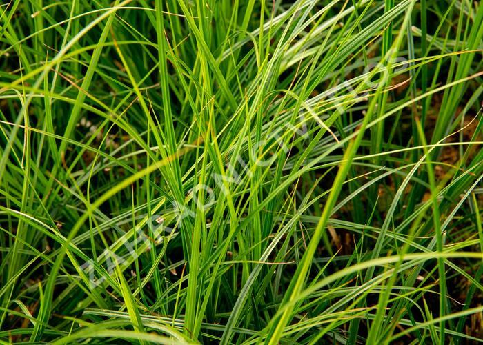 Ostřice 'Green Verde' - Carex brunnea 'Green Verde'