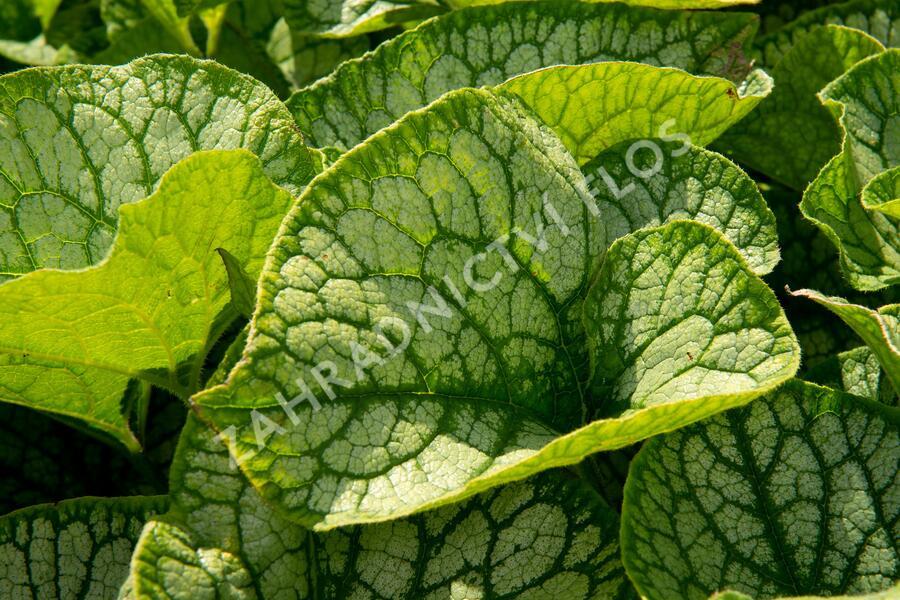 Pomněnkovec velkolistý 'Jack Frost' - Brunnera macrophylla 'Jack Frost'