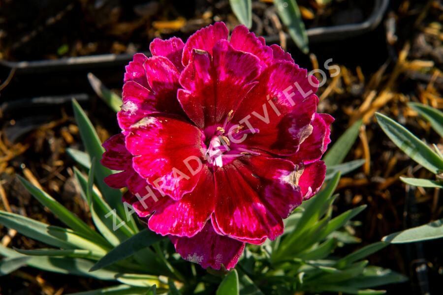 Hvozdík 'Diantica Bordeaux' - Dianthus 'Diantica Bordeaux'