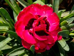 Hvozdík 'Early Love' - Dianthus 'Early Love'