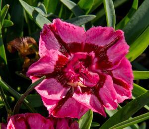 Hvozdík 'Diantica Raspbery Cream' - Dianthus 'Diantica Raspberry Cream'