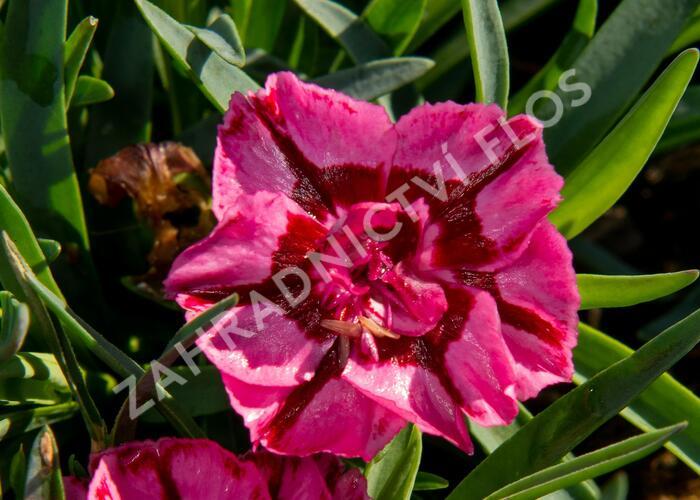 Hvozdík 'Diantica Raspberry Cream' - Dianthus 'Diantica Raspberry Cream'