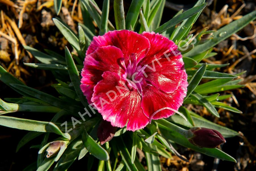 Hvozdík 'Diantica Strawberry Cream' - Dianthus 'Diantica Strawberry Cream'