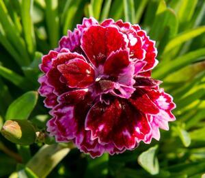 Hvozdík 'Diantica Lilac Eye' - Dianthus 'Diantica Lilac Eye'
