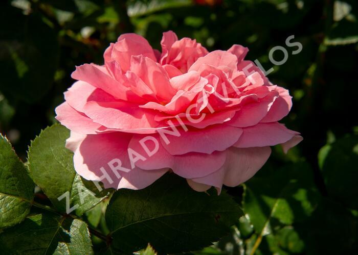 Růže mnohokvětá Kordes 'Rosenfee' - Rosa MK 'Rosenfee'