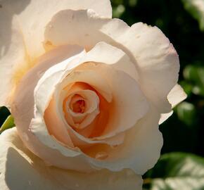 Růže pnoucí 'Eloise' - Rosa PN 'Eloise'