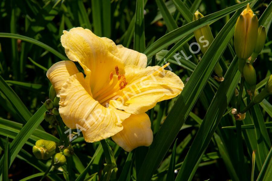 Denivka 'Precious de Oro' - Hemerocallis 'Precious de Oro'