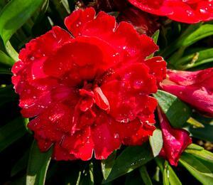 Hvozdík karafiát 'Carmen Purple' - Dianthus caryophylus 'Carmen Purple'