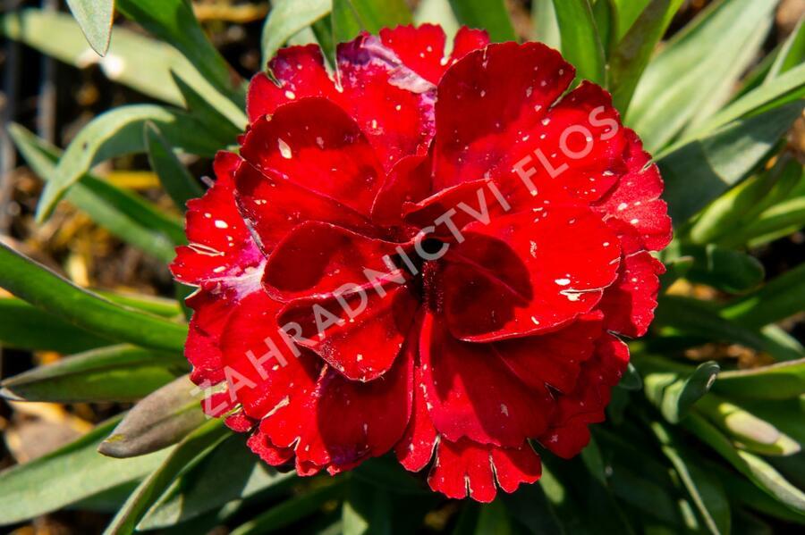 Hvozdík karafiát 'Carmen' - Dianthus caryophylus 'Carmen'