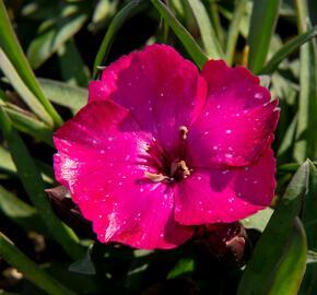 Hvozdík karafiát 'Scully' - Dianthus caryophyllus 'Scully'
