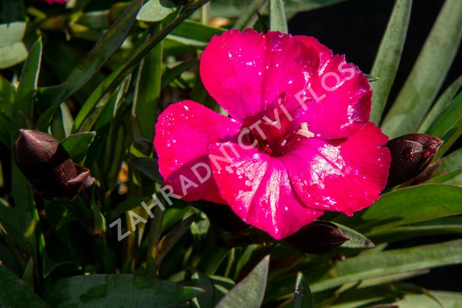 Dianthus caryophyllus 'Scully' - Dianthus caryophyllus 'Scully'