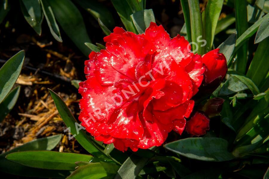 Hvozdík karafiát 'Carmen Red' - Dianthus caryophylus 'Carmen Red'
