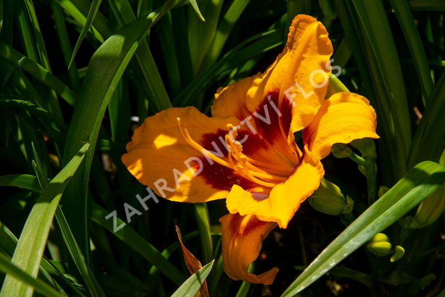 Denivka 'Fooled Me' - Hemerocallis 'Fooled Me'
