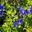 Hořec 'Blue 510' - Gentiana hybrida 'Blue 510'