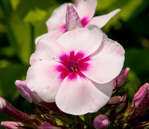 Plamenka latnatá 'Swizzle' - Phlox paniculata 'Swizzle'