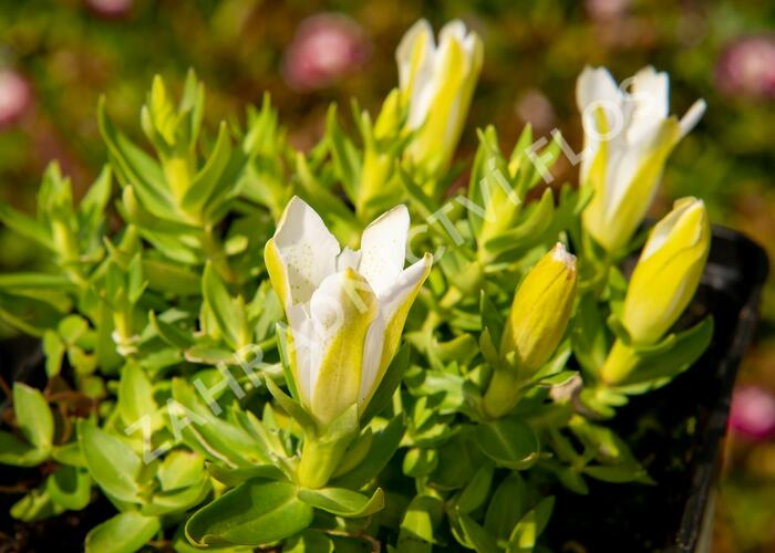 Hořec 'Luis Easy White' - Gentiana hybrida 'Luis Easy White'