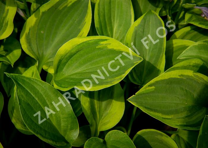 Hosta 'Golden Tiara' - Hosta 'Golden Tiara'