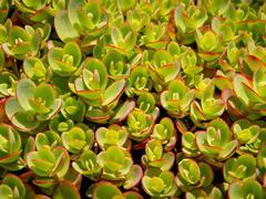 Rozchodník SunSparkler® 'Lime Zinger' - Sedum hybridum SunSparkler® 'Lime Zinger'