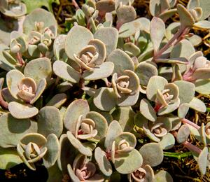 Rozchodník SunSparkler® 'Blue Elf' - Sedum hybridum SunSparkler® 'Blue Elf'