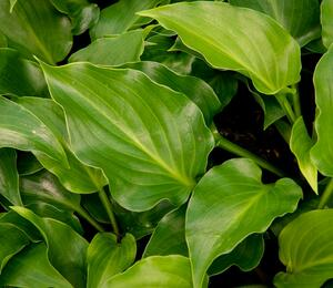 Bohyška 'Invincible' - Hosta 'Invincible'