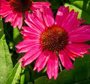 Třapatka nachová 'Sensation Pink' - Echinacea purpurea 'Sensation Pink'