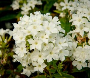 Plamenka latnatá 'Early White' - Phlox paniculata 'Early White'