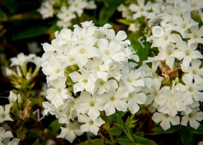 Plamenka latnatá 'Early White' - Phlox paniculata 'Early White'