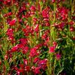 Dračík vousatý 'Pristine Deep Rose' - Penstemon barbatus 'Pristine Deep Rose'