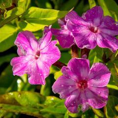 Plamenka latnatá 'Early Purple Eye' - Phlox paniculata 'Early Purple Eye'