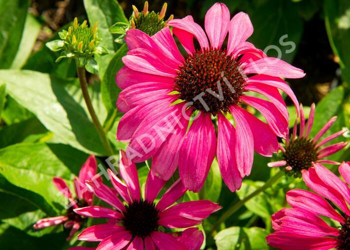 Třapatka nachová 'Purple Emperor' - Echinacea purpurea 'Purple Emperor'