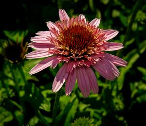 Třapatka nachová 'Butterfly Kisses' - Echinacea purpurea 'Butterfly Kisses'