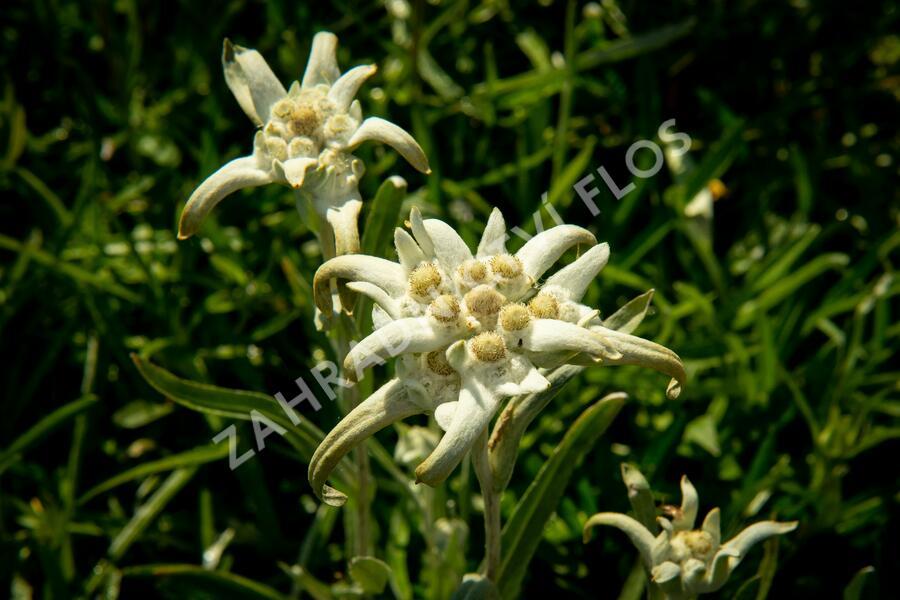Protěž alpská - Leontopodium alpinum