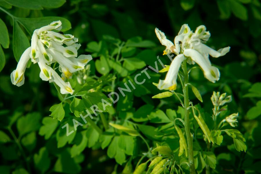Dymnivka - Corydalis ochroleuca
