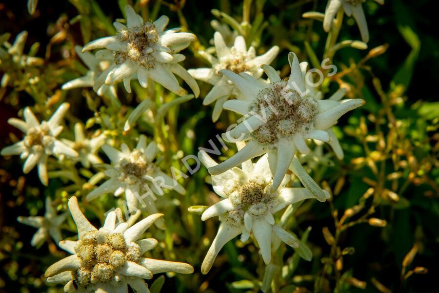 Protěž alpská 'Watzmann' - Leontopodium alpinum 'Watzmann'
