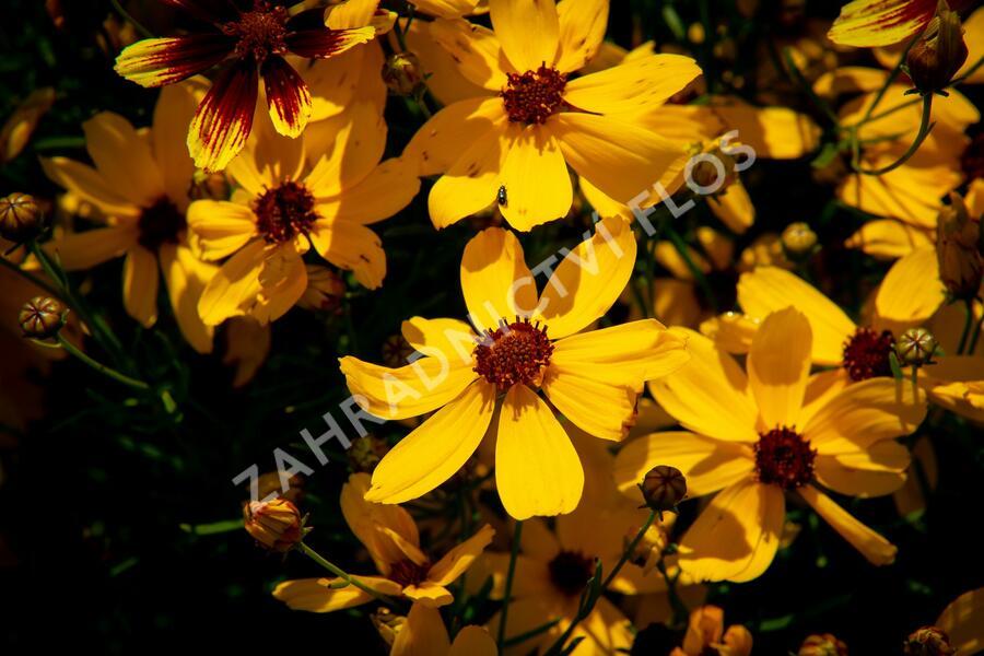 Krásnoočko přeslenité 'Imperial Sun' - Coreopsis verticillata 'Imperial Sun'